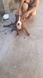 Pitbull filhote macho 90 dias