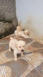 Filhotes de Labrador Caramelo