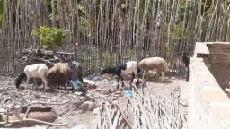 Vendo ovelhas 400 cada ovelha
