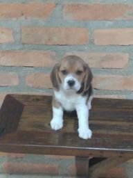 Filhote de Beagle c/ pedigree