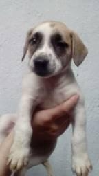 Labrador x dog
