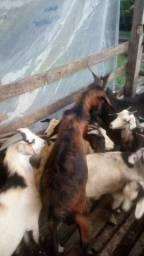 Venda de caprinos e ovinos permanentes