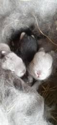 Anão Netherland dwarf Mini coelhos
