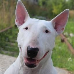 Procuro Bull terrier para adoção
