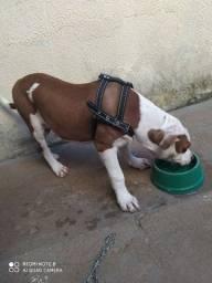 Pitbull com 4 meses lindo e brincalhão