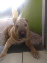 Cachorro sharpei