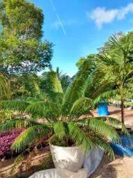 Palmeira Cicca