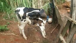 Bezerro desmamado giroholandes filho de vaca leiteira