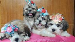 Lhasa Apso filhotes disponiveis para entrega hoje 27 99668-1558