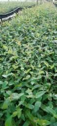 Mudas de eucalipto R$ 0,90 cada.