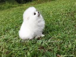 Lulu da pomerânia - branco de linhagem importada