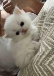 Gato persa branco de olho azul