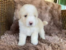 Poodle toys com pedigree! Parcelamos em até 10x
