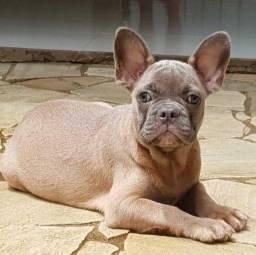 Bulldog Francês Blue Fawn Blue Gen