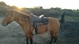 Vendo egua crioula certo de laço 4 anos de idade..