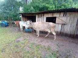 Vaca prenha