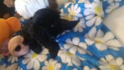 Shitzu minizinho macho preto e tricolor