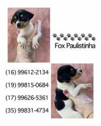 Fox Paulistinha com pedigree microchip até em 18x