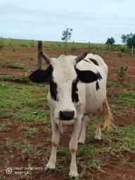 Vaca leitera