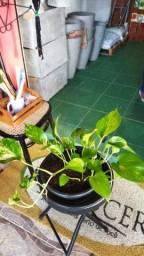 Jiboia Imbé perperonia planta