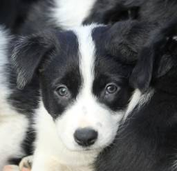 Border Collie blue merle/red merle/preto e branco/chocolate !