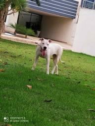 Dogo argentino fêmea vendo ou troco. Leia a descrição!