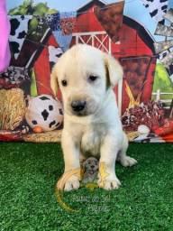 Garanta Já Seu Labrador