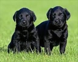 Fiéis Companheiros!! Labrador com Pedigree