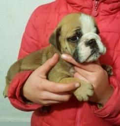Bulldog Inglês branco/malhado com garantias genéticas e suporte vet!