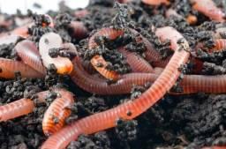 Húmus de minhoca, Minhocas Californianas, Adubo, Hortas, Flores, Jardinagem