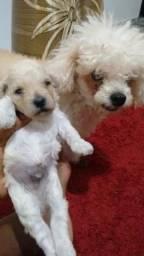 Bolinhas Filhotes de Poodle toy com 1 vacinados Pedigree cartão 5x