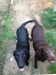 Procurando Labrador macho preto.