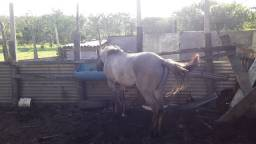 Cavalo crioulo potro