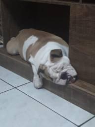 Bulldog inglês 8 meses fêmea oportunidade
