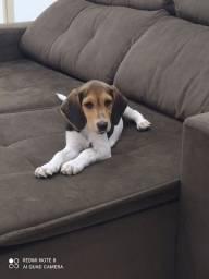 Cachorro ??Beagle