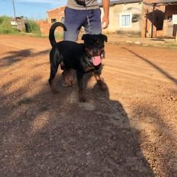 Rottweiler macho Disponível para cobertura