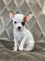 Chihuahuas mais perfeitos de Santa Catarina!