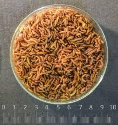 Insetos larvas para tiziu