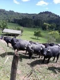 Gado bufalo