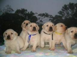 Filhotes de Labrador Legítimo