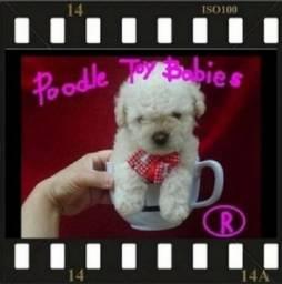 Canil de Poodle Especializado Desde 1989 Verdadeiros Bibelos Lovpuppies Kennel