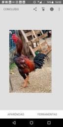 Galo e frango indio