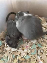 Filhotes de Gerbil (esquilo da Mongólia)