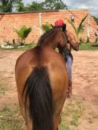 Egua mestiça de manga larga
