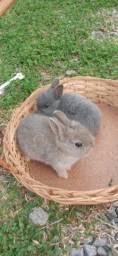 Filhotes de mini coelhos Netherland