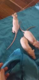 Rato twister macho