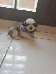 Vendo filhote macho  de Shih Tzu mini