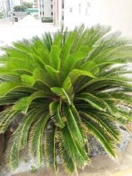 Vendo muda de palmeiras cica