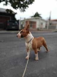 Bull Terrier (Macho jovem)