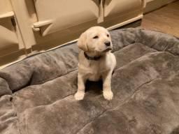 Labrador filhotes maravilhoso, * larissa